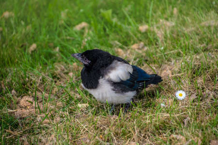 Baby Magpie or Pica Pica sitting at the grass in the park