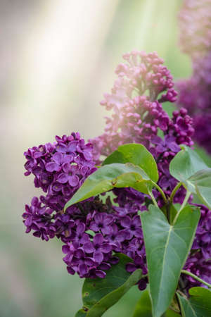 Tender purple lilac Syringa vulgaris flowers closeup as background. Spring lilac blossom. Bright purple beautiful lilac blossom in spring, close up of lilac branches with fragrant flowers in the sun