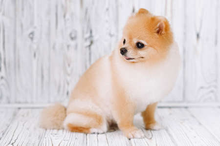 Well maintained Pomeranian puppy after haircut sits, stuck out his tongue and looks away