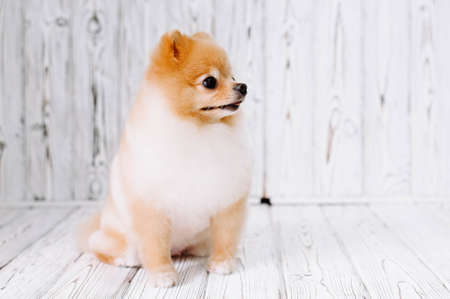 Beautiful puppy pomeranian after grooming sits on a wooden background and looks right.