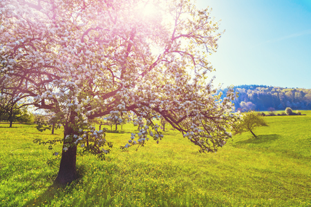 風光明媚な田園地帯の風景: 絵のような緑の夏開花桜谷木。ドイツの黒い森。美しい自然の背景。