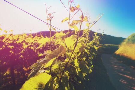 ブドウの絵で成長しています。ワインとワインの試飲の背景。