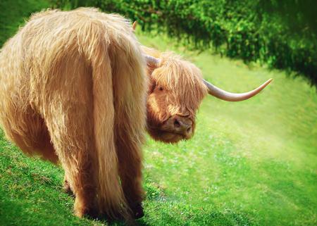 変なハイランド牛怒っている表情でカメラに探してマウンテン フィールドで放牧します。農業と旅行の背景。