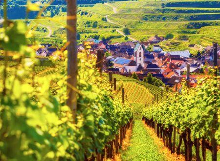 ドイツ黒い森の絵のような村の近くのテラスで栽培ブドウの風光明媚な山の風景。カラフルな夏の旅行とつる製作の背景。 写真素材