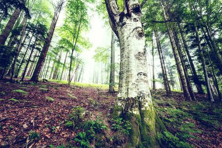 大きなトチの木がある風光明媚な夏山森の背景。
