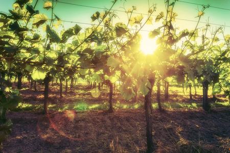 ブドウの絵に成長しています。ワインとワインの試飲の背景。ヴィンテージの効果。 写真素材