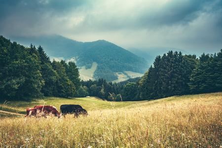 夢のような山の風景。木は、霧とフィールド放牧牛で覆われています。ドイツの黒い森。背景を旅行します。