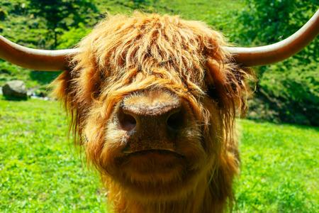 変な牛面白い表情でカメラに探しています。珍しい野生動物のシーン。