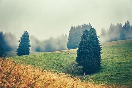 夢のような山の風景。森は、霧とフィールド放牧牛で覆われました。ドイツの黒い森。背景を旅行します。 写真素材
