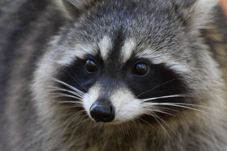 Raccoon face close-up