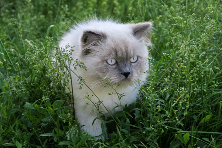 Color point blue eyes gtey cat walking and hunting outdoor in green grass. Top 10 fluffy cat breeds