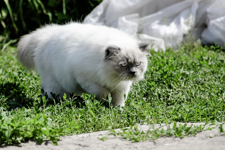 Color point blue eyes cat walking outdoor, Himalayan cat walking on green grass and asphalt