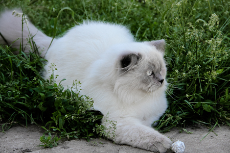 Indoor white cat in nature, summer time. Persian gray cat play with alluminium ball. Most pet owners allow their cats to spend time outdoors
