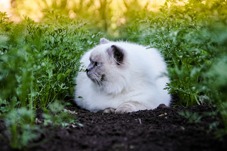 Cat in garden yard. Himalayan is a Persian in Siamese breed. Animal in nature, outdoor. Golden warm photo, green carrots, black ground, sunset, summer. Ways to keep cats out of your yard. Stopping pet in the garden Stock Photo