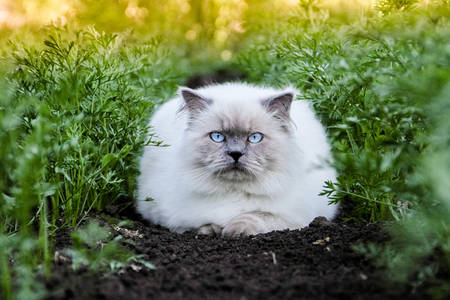 The most adorable cat. Cover style pet. Himalayan is a Persian in Siamese breed. Animal in nature, outdoor. Golden warm photo, green carrots, black ground, sunset, summer. Top 10 fluffy cat breeds. Most beautiful cat in the world.