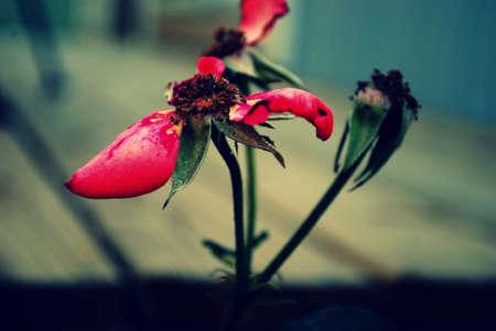 wilting: Un disparo editada de una flor marchita.