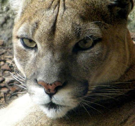 catlike: Puma