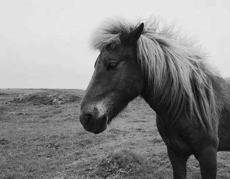 Icelandic horse Stock fotó