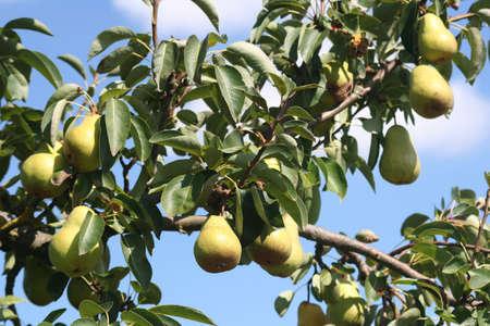 Pears Tree