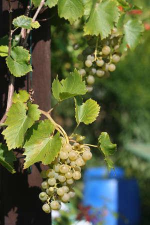 Sunny grapes photo