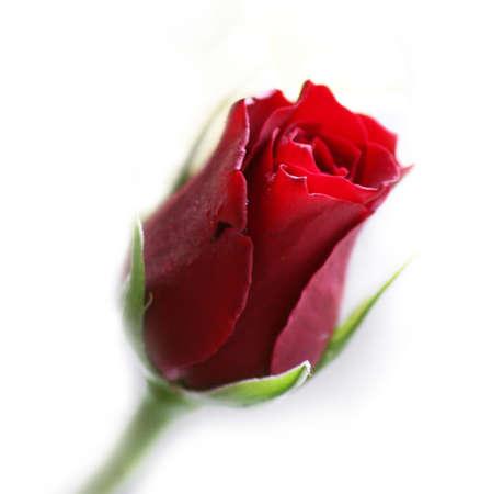 Tender red rose Stock Photo