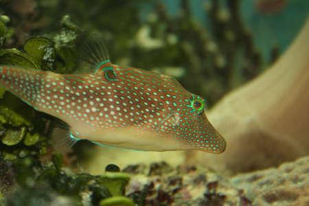 actinia: Rojo de peces de aguas Foto de archivo