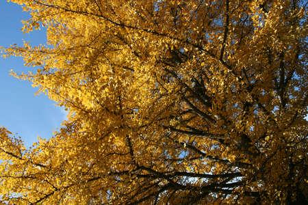 yelow: yelow autumn tree