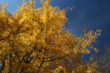 yelow: yelow autumn tree on blue sky