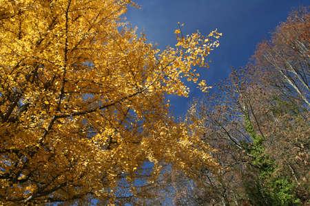 yelow: yelow leaves on blue sky