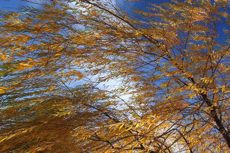 yelow: yelow leaves on blue sky 2