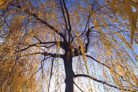 yelow: yelow autumn willow