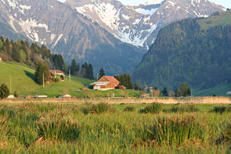 sweats: The green Swiss meadows  in morning chill and cooling sweats.