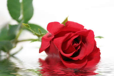 Rose in flood Stock Photo - 739291