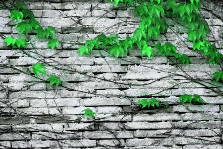 ivy wall background photo