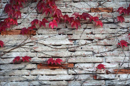 ivy wall: red ivy wall background Stock Photo