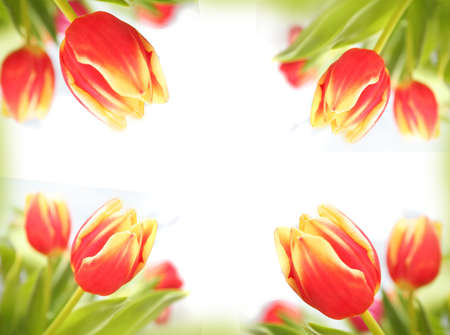 Spring tulips beautiful colorful flowers making border framed isolated love letter horizontal background