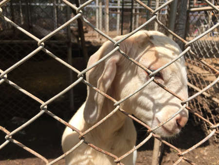 imprisoned: goat is imprisoned steel cage in the zoo