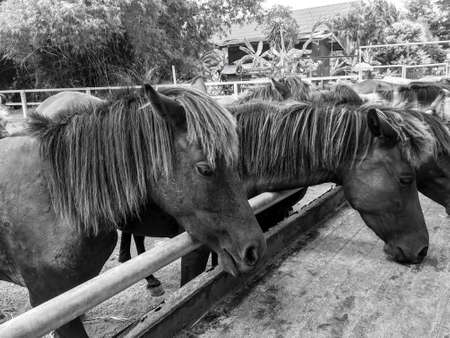trough: Horses feeding at the trough on the farm(black and white filter) Stock Photo