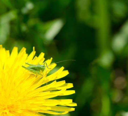 Grasshopper on dandelion photo