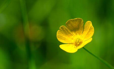 buttercup: Buttercup