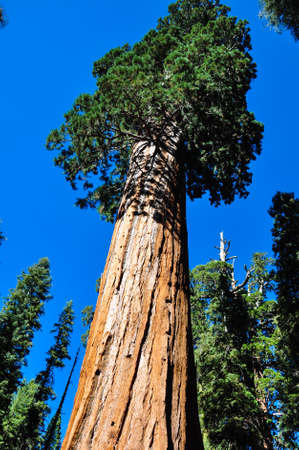 tats: One of the biggest Sequoia tree in the world, Sequoia National Park, California, USA.