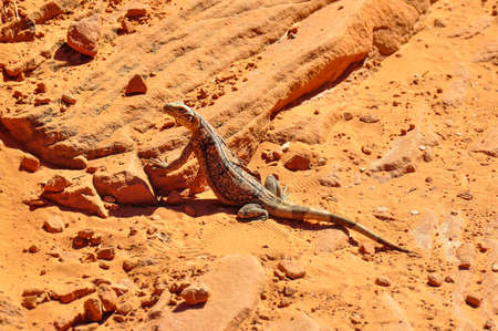 tats: Lizard in Vally of Fire Provincial Park, Nevada, USA.