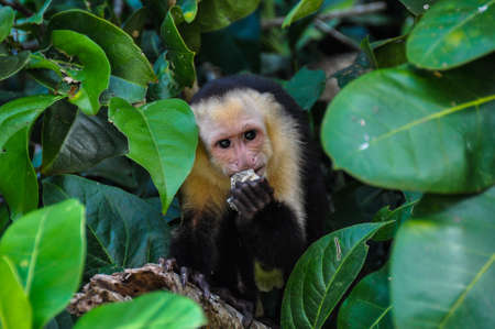 manuel: White Faced Capuchin Monkey in Manuel Antonio National Park, Costa Rica.