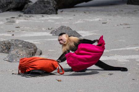 faced:  White faced capuchin in Manuel Antonio, Costa RIca.