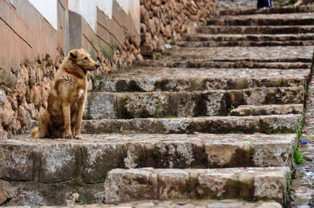 sacred valley of the incas: Dog in Chinchero