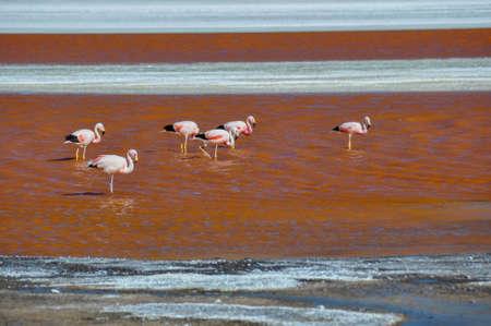 roadless: Flamencos in Laguna Colorada, Sur Lipez, South Bolivia. Stock Photo