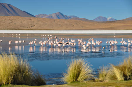 lipez: Flamencos in Sur Lipez, Bolivia. Stock Photo