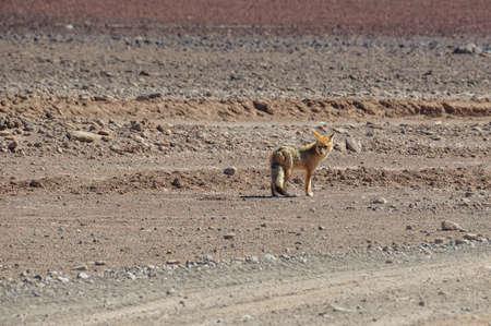 roadless: Desert Fox in Sur Lipez, South Bolivia.