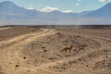 lipez: Desert Fox in Sur Lipez, South Bolivia.