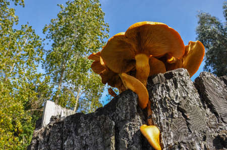 giant mushroom: Giant Orange mushroom, near Puerto Varas, Chile.